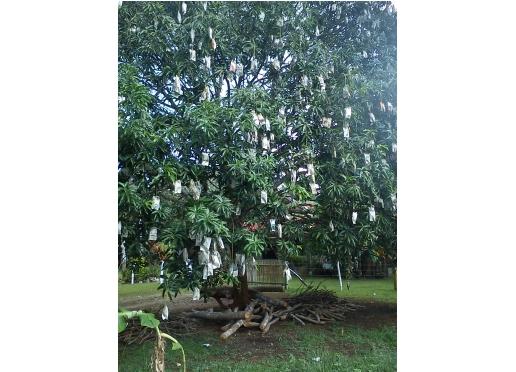Mangoträd med tidningspappersinlindande frukter